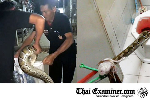 The threat of snakes or snake bit in Thailand should not be taken lightly. Pythons pose a deadly threat to humans.