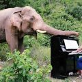 UK pianist in tune with Thai elephants in Kanchanaburi as he entertains them with concerts