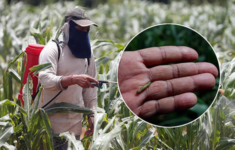 thai-farmers-corn-crop-fall-armyworm-pest-thailand-farmer-nakhon-ratchasima