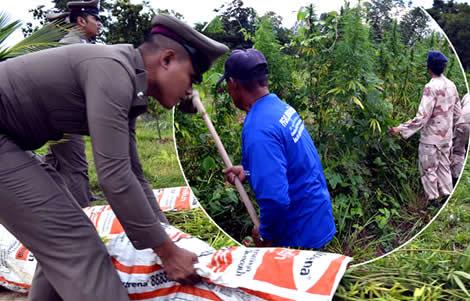 thai-police-nakhon-ratchasima-raid-thai-farm-land-cannabis-marijuana-crop